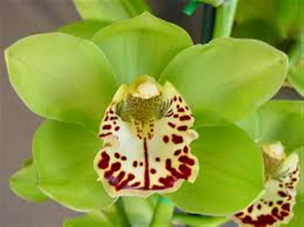 Cymbidium Apple Green