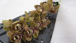 Cymbidium Chocobear