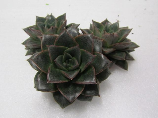 Echeveria Chinensis
