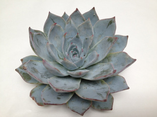 Echeveria Blue Star