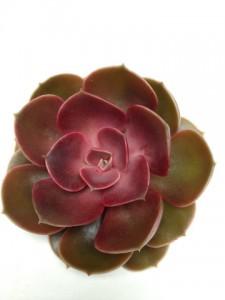 Echeveria Ruby Red