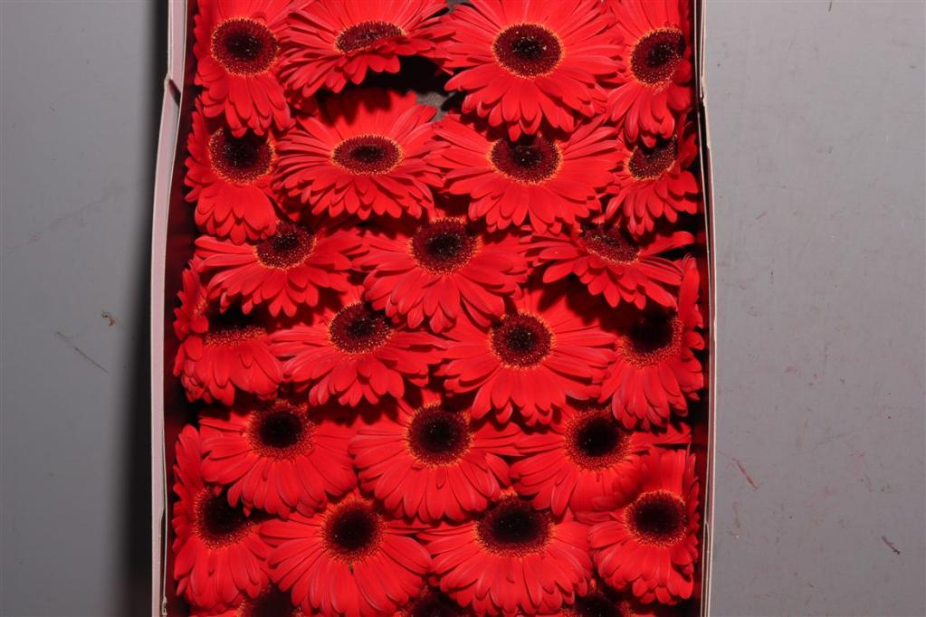 how to keep cut gerberas fresh