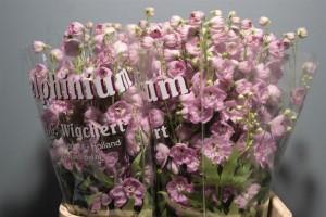 Delphinium Elatum Pink