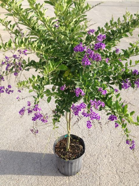 Duranta Saphire Showers std