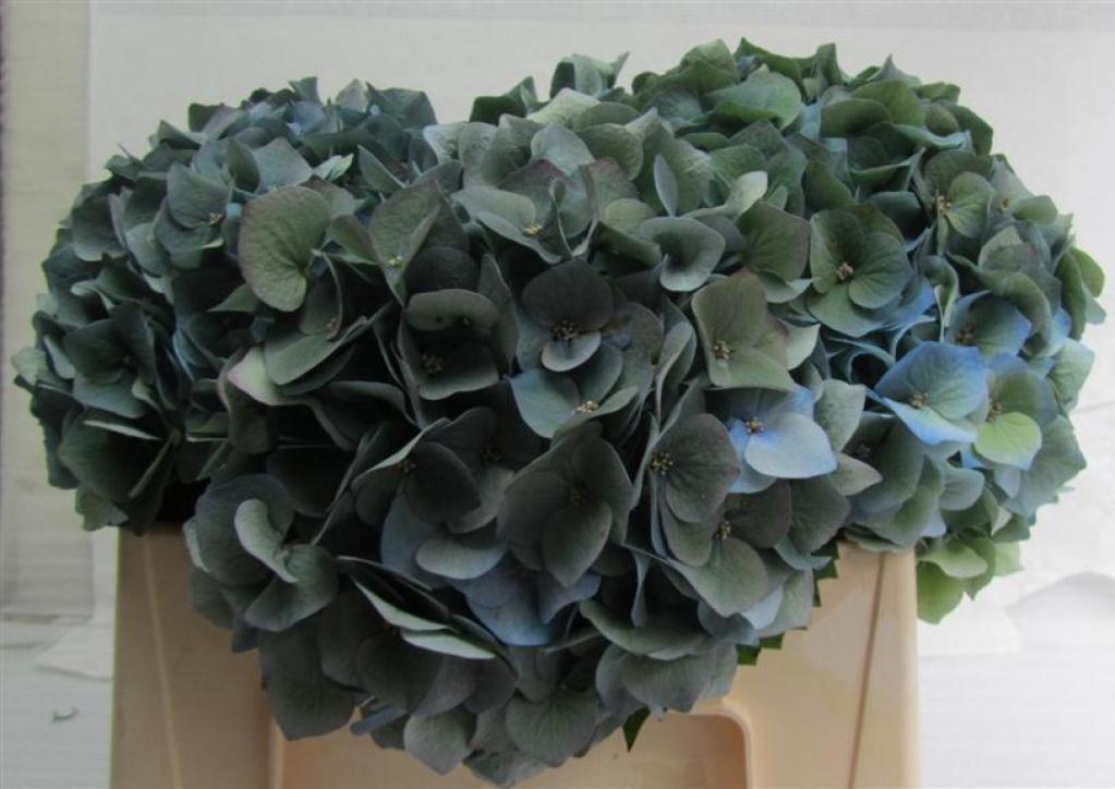 Hydrangea Blue Antique