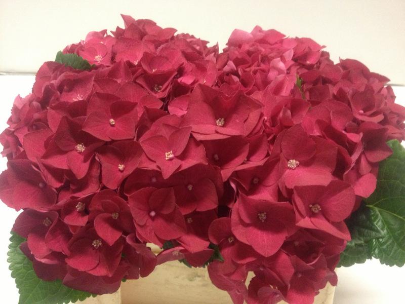 Hydrangea Hot Red