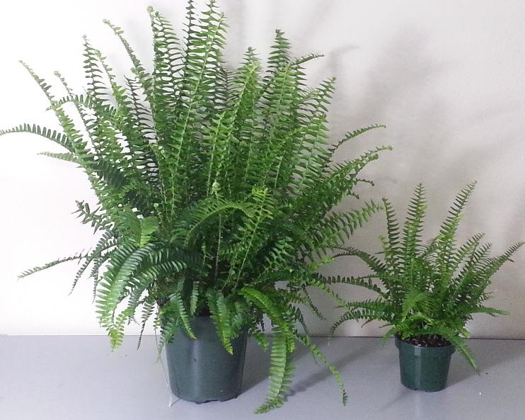 While drooping ferns like Boston fern (Nephrolepis exaltata