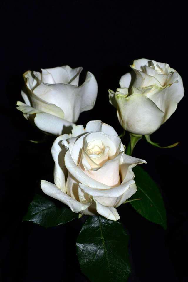 Amelia Roses