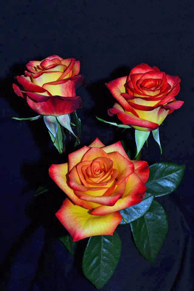 high magic roses
