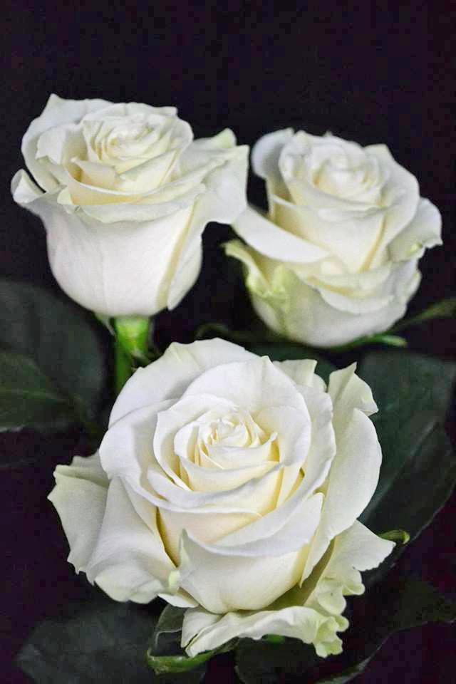 Mondial Roses Metropolitan Wholesale Metropolitan