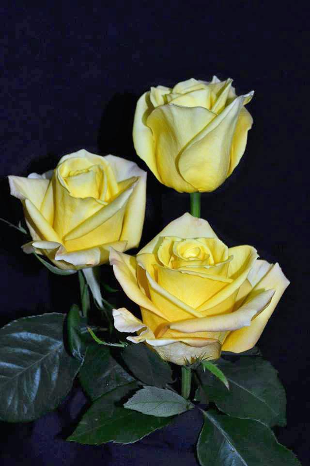 Skyline Roses