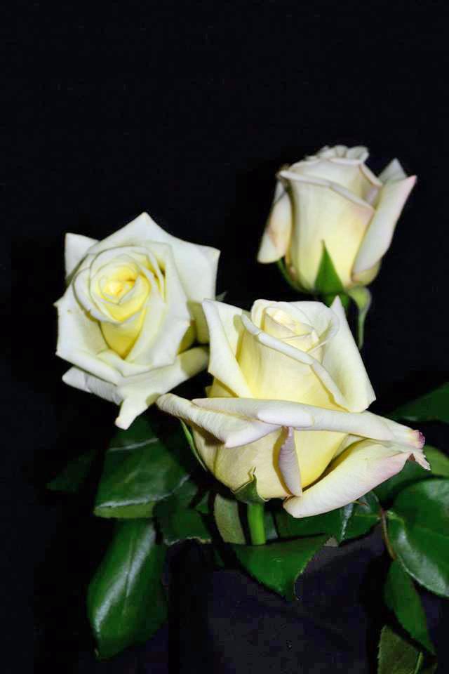 Virginia Roses