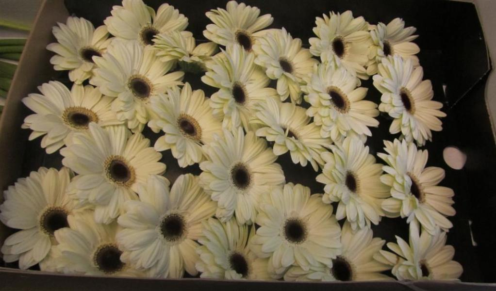 Gerbera Daisy Ice Queen