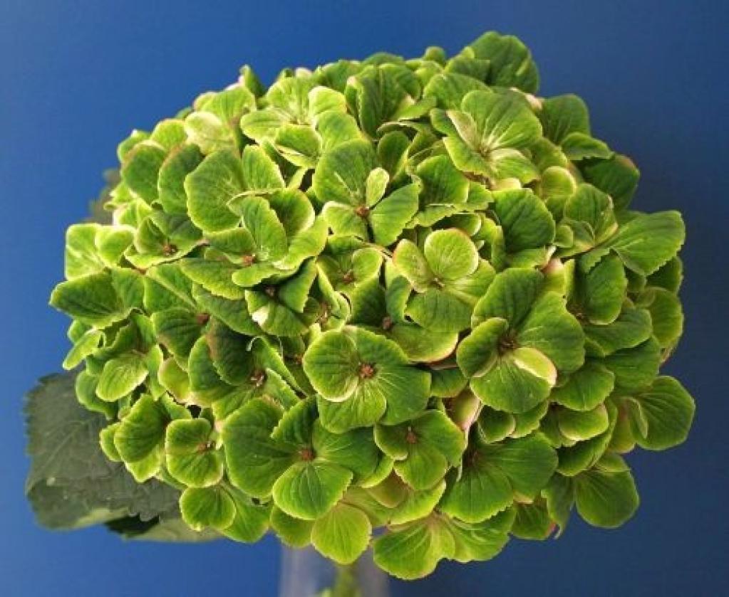 Hydrangea Amethyst Green