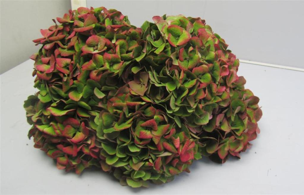 Hydrangea Red Antique