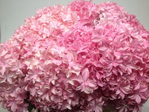Hydrangea Inspire Pink