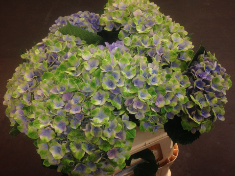 Hydrangea Magical Coral Blue