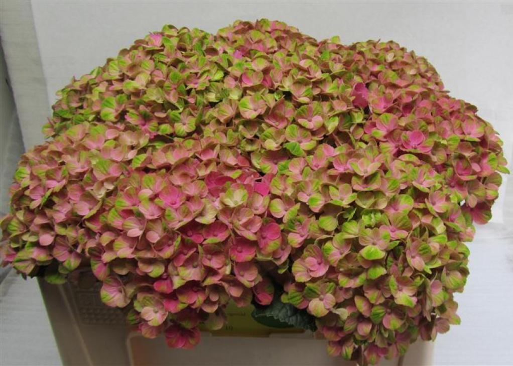 Hydrangea Magical Coral