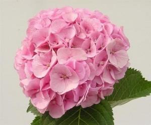 Hydrangea Mammoet