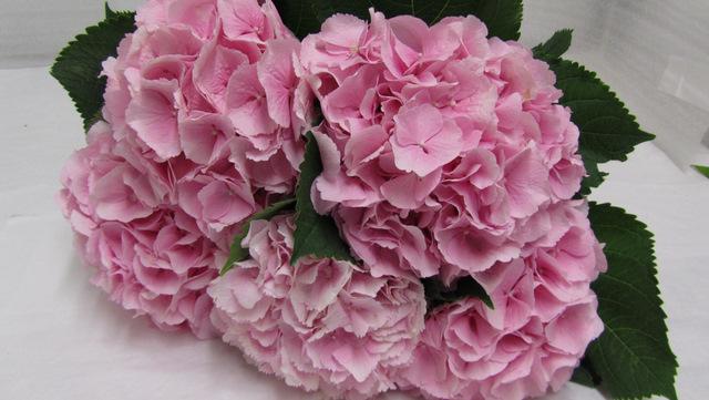 Hydrangea Marsepein Pink