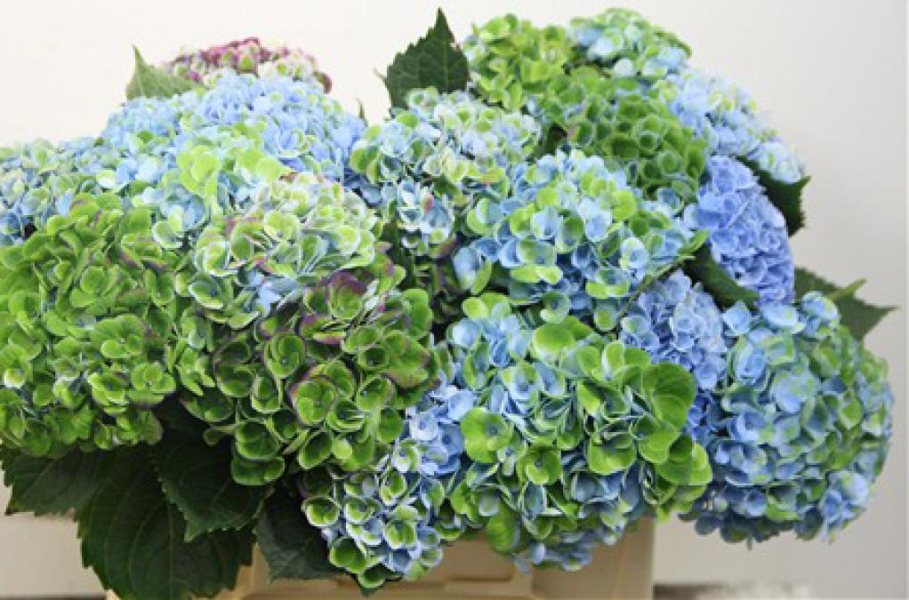 Hydrangea Revolution Blue Green