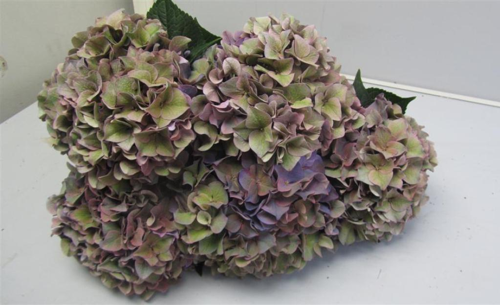 Hydrangea Rodeo Purple Antique