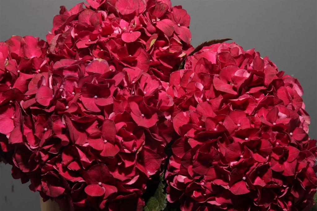 Hydrangea Ruby Red Metropolitan Wholesale
