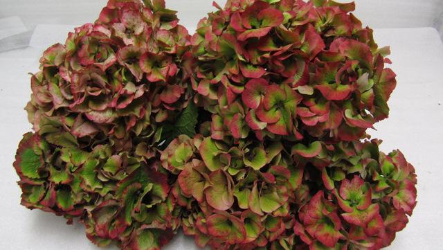 Hydrangea Sibilla Red Antique Metropolitan Wholesale