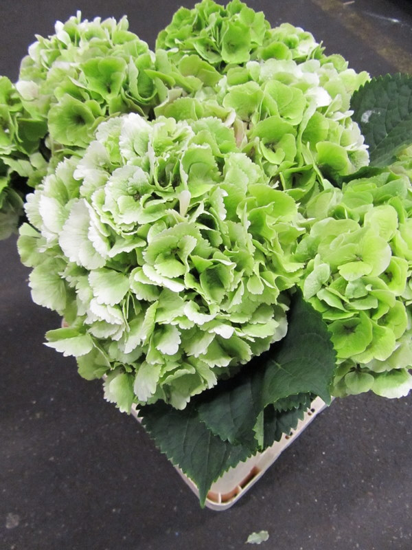 Hydrangea Verena Light Green