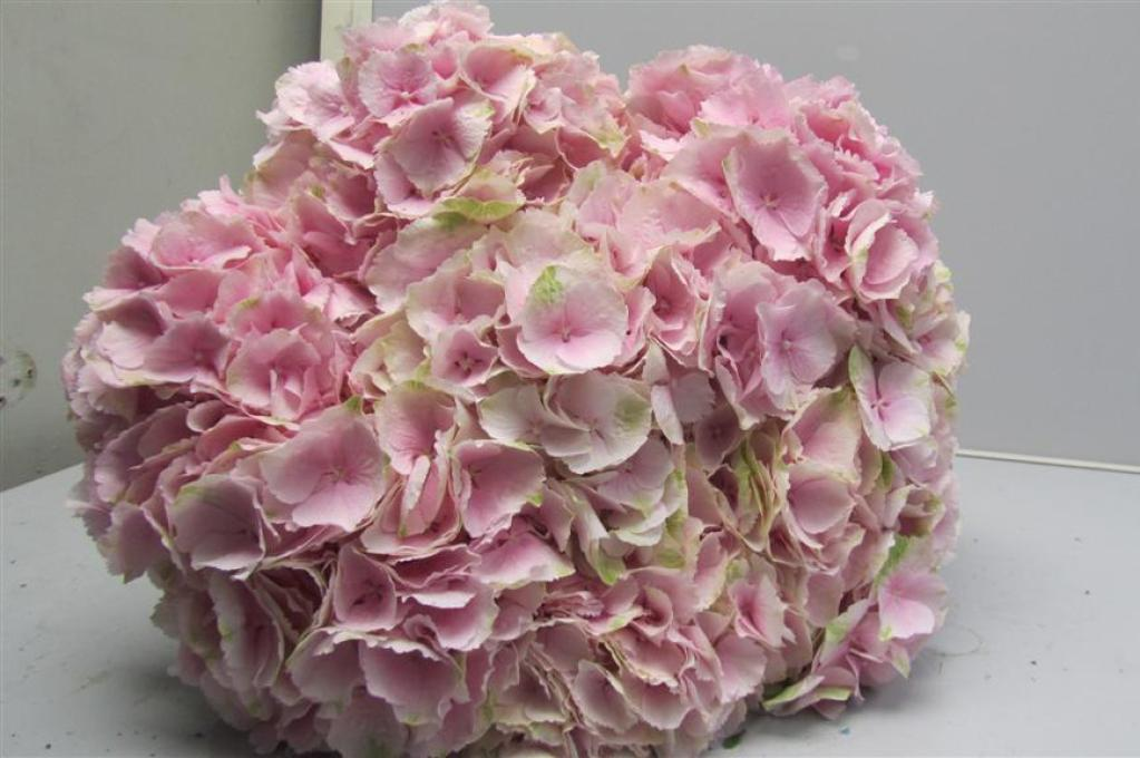 hydrangea verena light pink  metropolitan wholesale, Beautiful flower