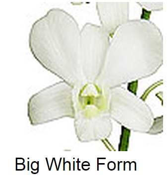 Dendrobium Big White Form