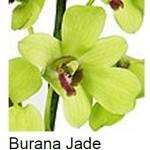 Dendrobium Burana Jade