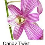 Dendrobium Candy Twist