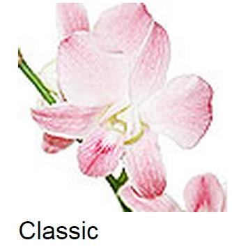 Dendrobium Classic