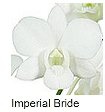 Dendrobium Imperial Bride