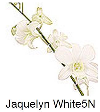 Dendrobium Jaquelyn