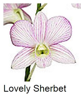 Dendrobium Lovely Sherbet