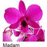 Dendrobium Madame