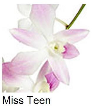 Dendrobium Miss Teen