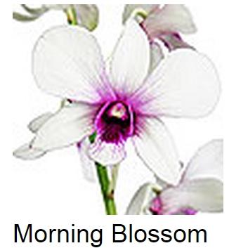 Dendrobium Morning Blossom