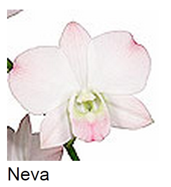 Dendrobium Neva