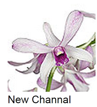 Dendrobium New Channal