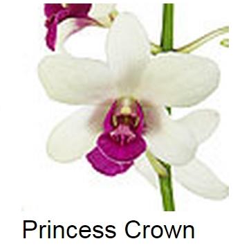 Dendrobium Princess Crown