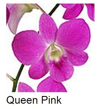 Dendrobium Queen Pink