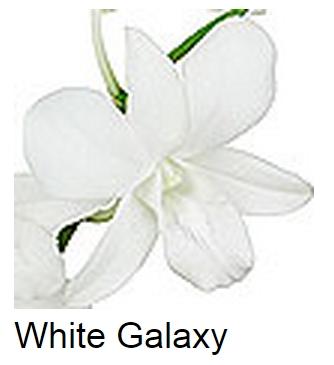 Dendrobium Galaxy White