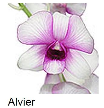 Dendrobium Alvier