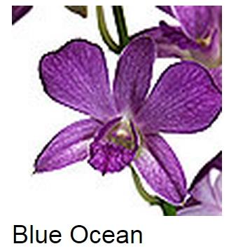 Dendrobium Blue Ocean
