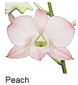 Dendrobium Peach