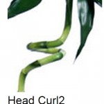 Lucky Bamboo Curl