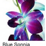 Dendrobium Dyed Blue Sonia